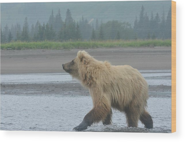 Grizzly Bear Wood Print featuring the photograph Something In The Air 2 by Fraida Gutovich