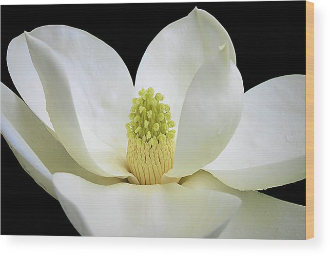 Isabela Cocoli Wood Print featuring the photograph Southern Magnolia 2 by Isabela and Skender Cocoli