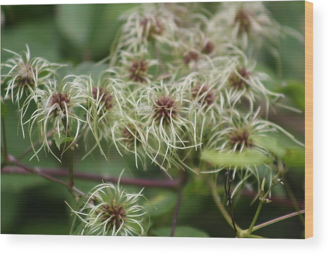 White Wood Print featuring the photograph Spidery Flowers by Pamela Smith