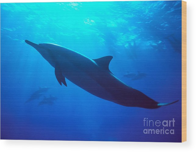 Adult Wood Print featuring the photograph Spinner Dolphin by Dave Fleetham - Printscapes