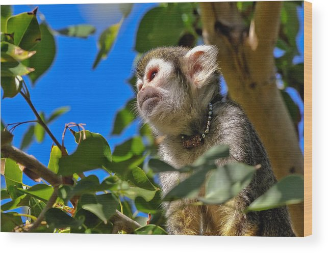 Squirrel Wood Print featuring the photograph Squirrel Monkey by Tom Dowd