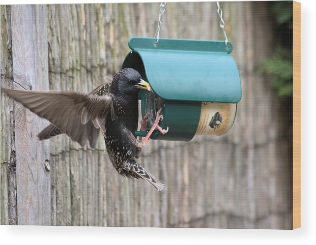 Starling On Bird Feeder Wood Print featuring the photograph Starling On Bird Feeder by Gordon Auld