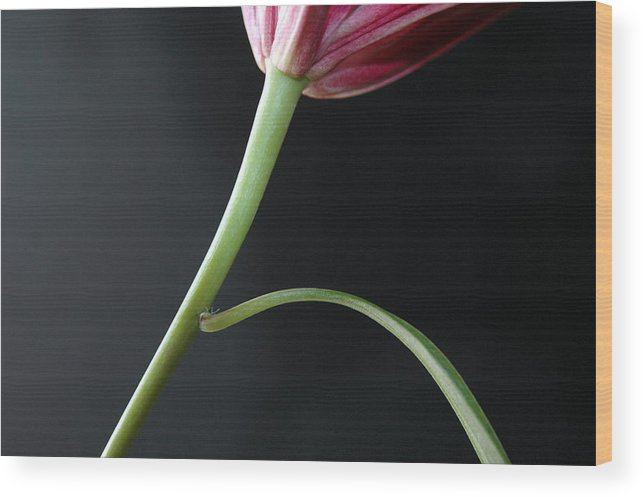 Flower Wood Print featuring the photograph Stem And Leaf by Dan Holm