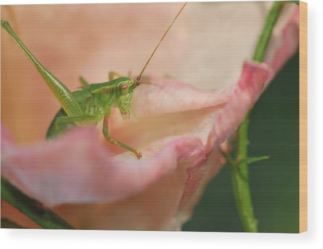 Grasshopper Wood Print featuring the photograph Stillness Of The Moment by Michelle DiGuardi