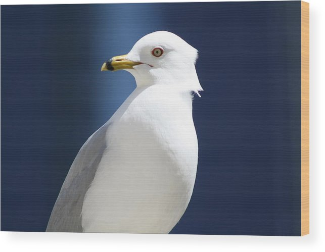 Sea Gull Wood Print featuring the photograph Stoic by Laurel Ransom
