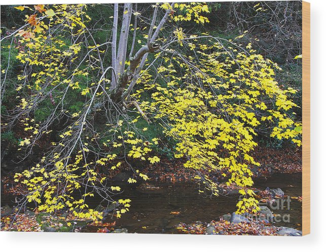Autumn Wood Print featuring the photograph Sugar Maple Birch River by Thomas R Fletcher