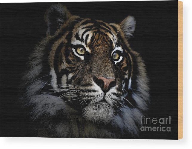 Sumatran Tiger Wildlife Endangered Wood Print featuring the photograph Sumatran Tiger by Sheila Smart Fine Art Photography