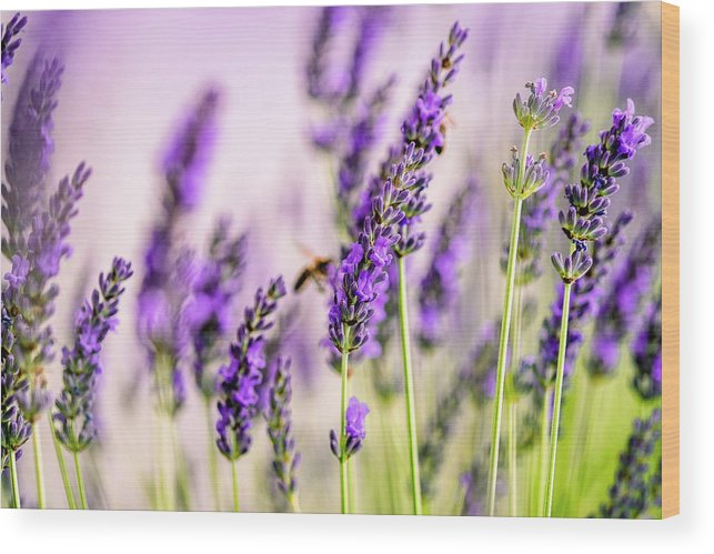 Lavender Wood Print featuring the photograph Summer Lavender by Nailia Schwarz
