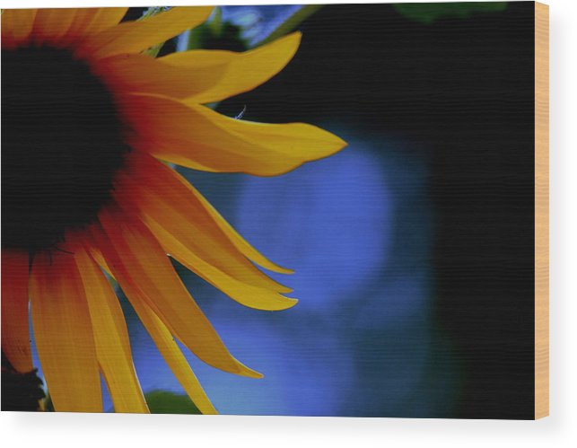 Sun Wood Print featuring the photograph Sunflower by Martin Morehead