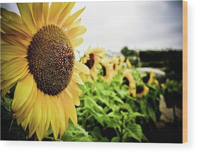 Sunflower Wood Print featuring the photograph Sunflower Sunshine by Lacey Miller
