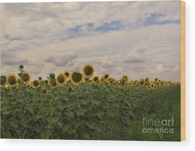 Flowers Wood Print featuring the photograph Sunflowers by Elvira Ladocki