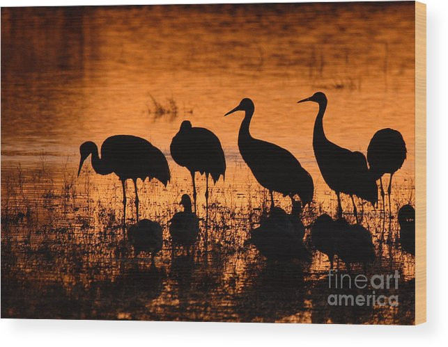 Crane Wood Print featuring the photograph Sunset Reflections Of Cranes And Geese by Max Allen
