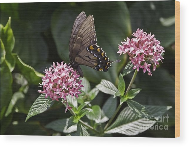 Buttrfly Wood Print featuring the photograph Swallowtail Buterfly by Sven Brogren