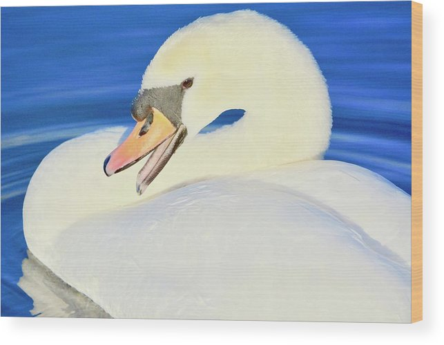Mute Swan Wood Print featuring the photograph Swan 10 by Melanie Lewis