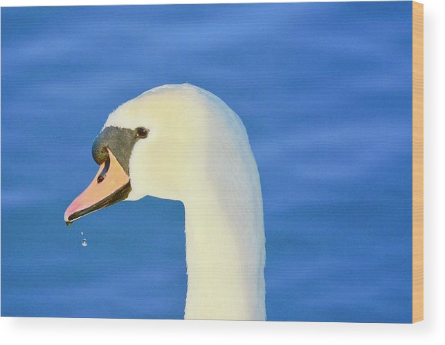 Mute Swan Wood Print featuring the photograph Swan 11 by Melanie Lewis