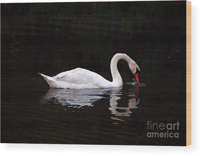 Clay Wood Print featuring the photograph Swan Drinking by Clayton Bruster