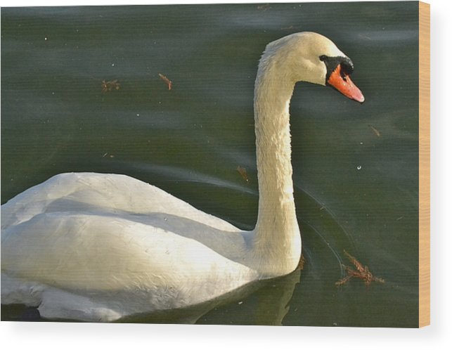 Swan Wood Print featuring the photograph Swan Up Close by Carol Bradley