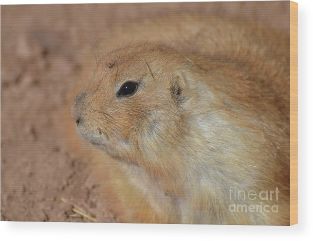 Prairie-dog Wood Print featuring the photograph Sweet Profile Of A Prairie Dog Playing In Dirt by DejaVu Designs