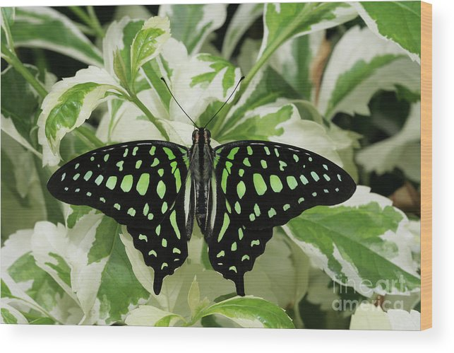 Butterfly Wood Print featuring the photograph Tailed Jay Butterfly #2 by Judy Whitton