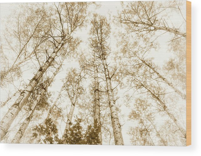 Trees Wood Print featuring the photograph Tall Aspens by Elena Elisseeva