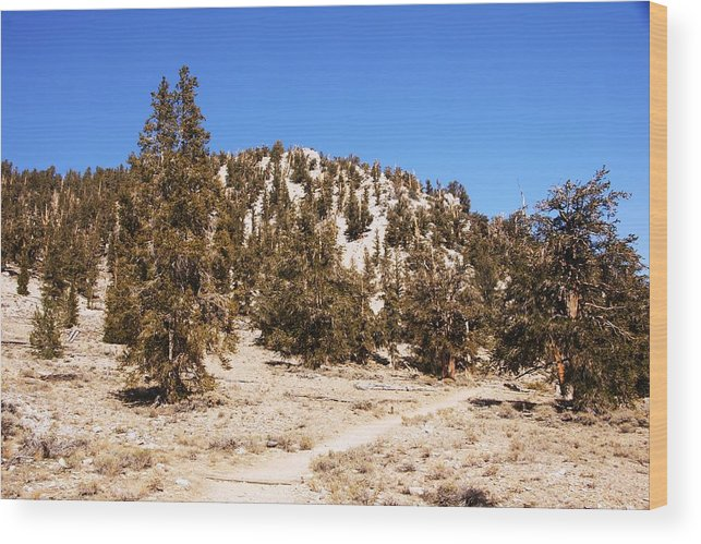 Bristlecone Wood Print featuring the photograph The Ancient Ones by Michael Courtney