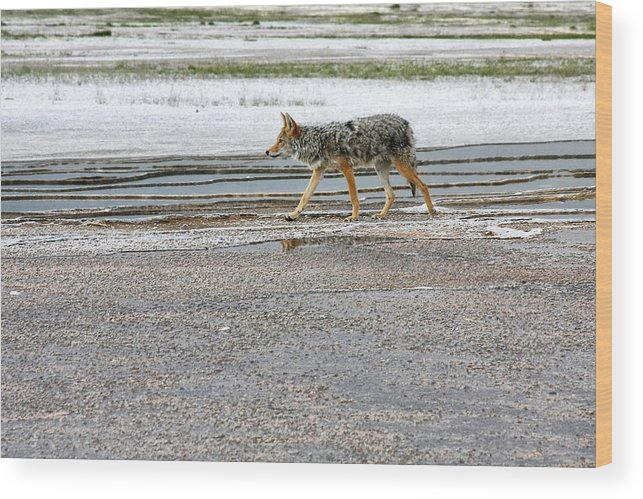 Coyote Wood Print featuring the photograph The Coyote - Dogs Are By Far More Dangerous by Christine Till