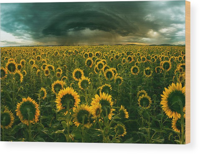 Sunflower Wood Print featuring the photograph The Dark Crown by Adrian Borda