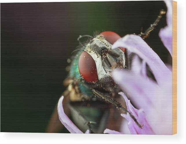 Macro Fly Extreme Closeup Close Up Close-up Ma Mass Massachusetts Insect Brian Hale Brianhalephoto Eyes U.s.a. Usa Newengland New England Wood Print featuring the photograph The Fly by Brian Hale