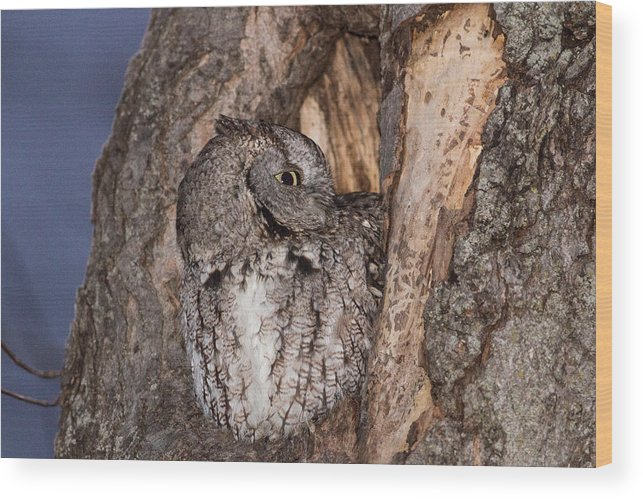 Eastern Screech Owl Wood Print featuring the photograph The Hideout by Rodney Ervin