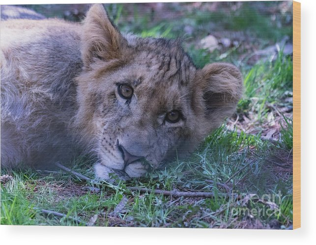 Lion Wood Print featuring the photograph The Lion Cub by CJ Park