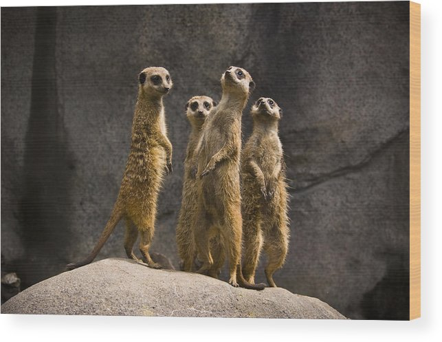 Chad Davis Wood Print featuring the photograph The Meerkat Four by Chad Davis