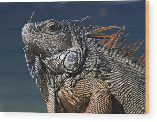 Animal Wood Print featuring the photograph The Night Of The Iguana by Carl Purcell