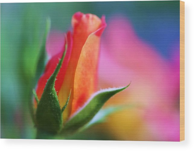 Rose Wood Print featuring the photograph The Rose by Mitch Cat