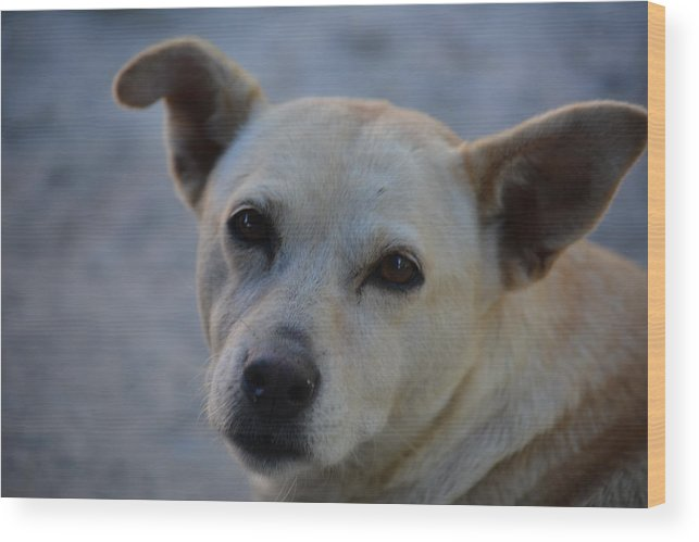 Stray Dog Wood Print featuring the photograph Zaguate by Sonja Bratz