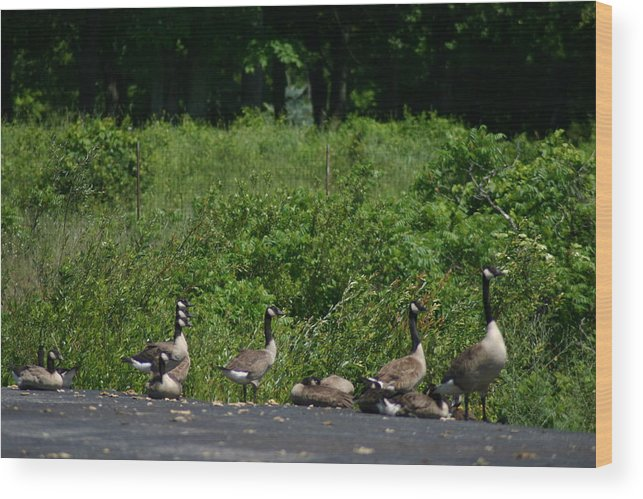 Geese Wood Print featuring the photograph Three Heads by Kevin Dunham