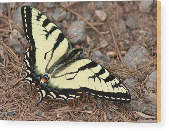 Tiger Wood Print featuring the photograph Tiger Swallowtail by Jeff VanDyke