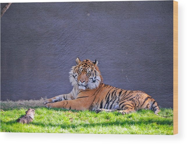 Tiger Wood Print featuring the photograph Tiger by Tom Dowd