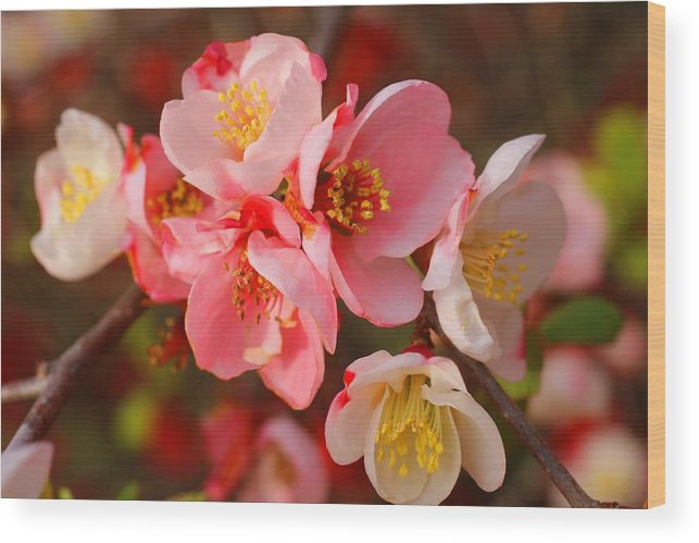 Quince Wood Print featuring the photograph Toyo-nishiki Quince Blooms by Kathryn Meyer