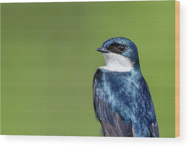 Indiana Wood Print featuring the photograph Tree Swallow by Mike Timmons