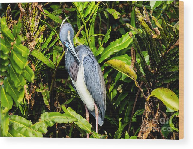 Tricolored Heron Wood Print featuring the photograph Tricolored Heron 3 by Ben Graham