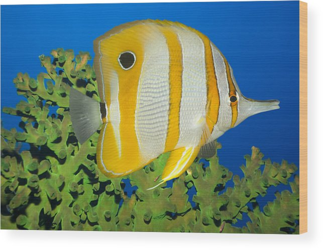 Butterflyfish Wood Print featuring the photograph Tropical Fish Butterflyfish. by MotHaiBaPhoto Prints