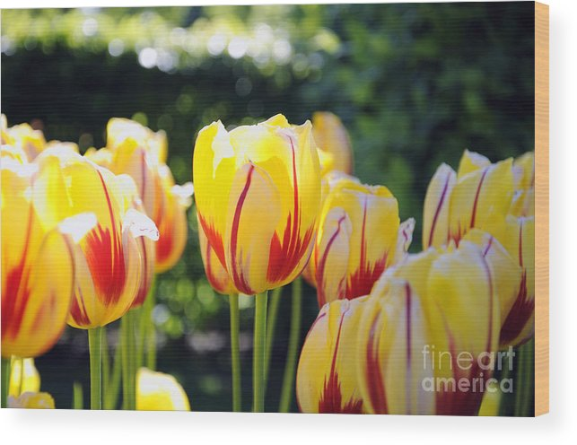Tulip Wood Print featuring the photograph Tulips by LS Photography
