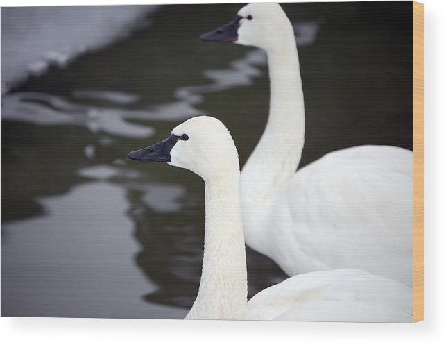 Swans Wood Print featuring the photograph Tundra Swans by Lisa Kane