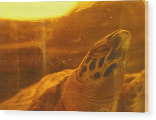 Jez C Self Wood Print featuring the photograph Turtled by Jez C Self