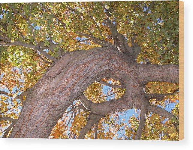 Landscapes/ Trees. Autumn Wood Print featuring the photograph Twisted Tree by Nancy Barch