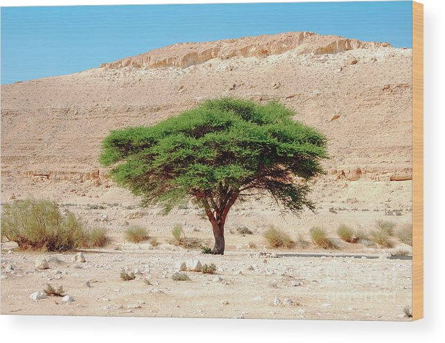 Wilderness Wood Print featuring the photograph Umbrella Thorn Acacia, Negev Israel by Ilan Rosen