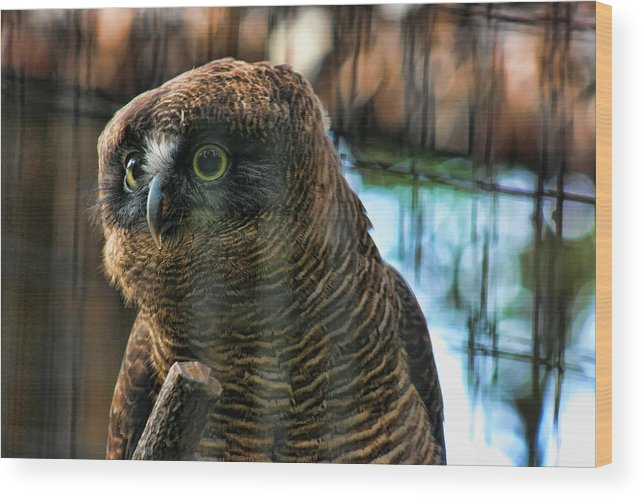 Rufous Owl Wood Print featuring the photograph Unlawful Detention by Douglas Barnard