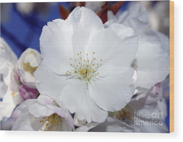Terry Elniski Photography Wood Print featuring the photograph Vancouver 2017 Spring Time Cherry Blossoms - 2 by Terry Elniski