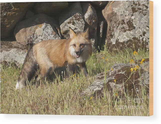 Red Fox Wood Print featuring the photograph Wary Red Fox by Sandra Bronstein