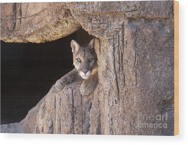 Cougar Wood Print featuring the photograph Watchful Eyes by Sandra Bronstein
